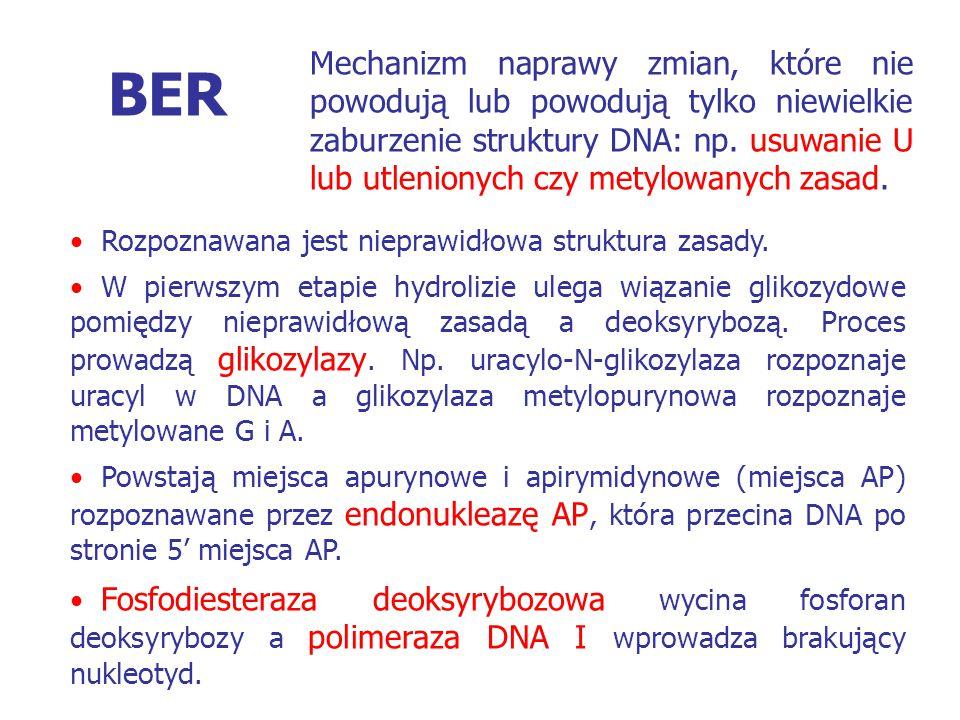 BER Rozpoznawana jest nieprawidłowa struktura zasady. W pierwszym etapie hydrolizie ulega wiązanie glikozydowe pomiędzy nieprawidłową zasadą a deoksyr