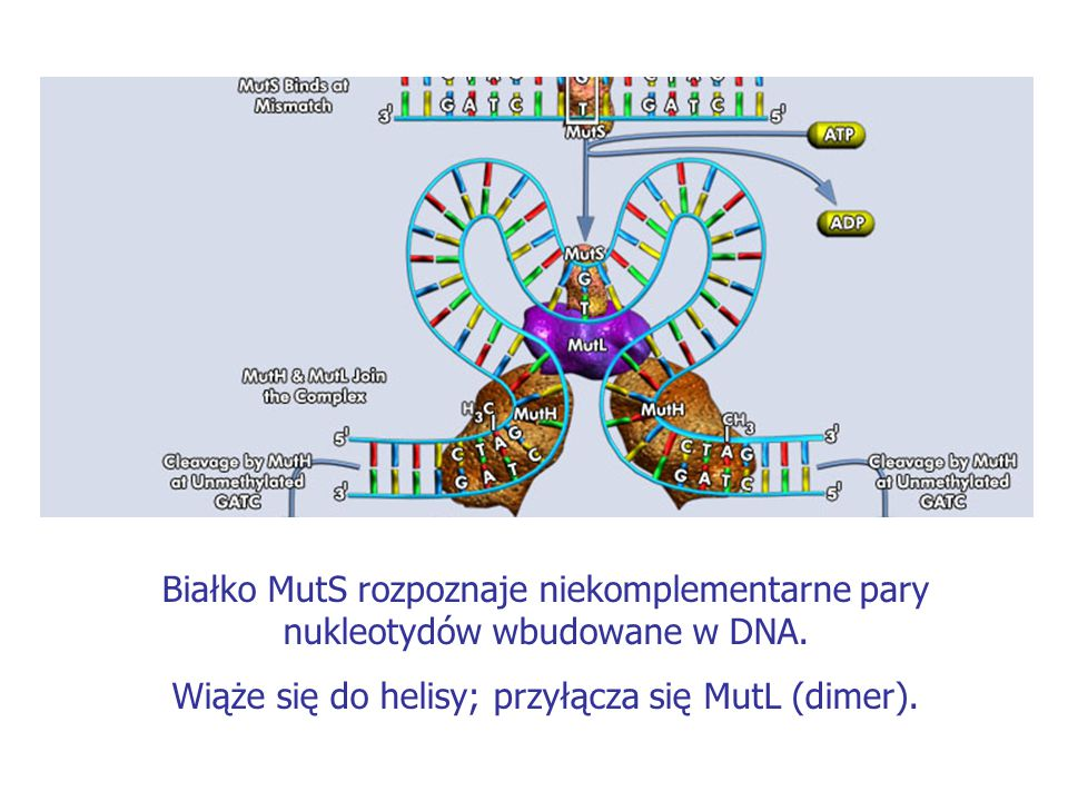 Białko MutS rozpoznaje niekomplementarne pary nukleotydów wbudowane w DNA. Wiąże się do helisy; przyłącza się MutL (dimer).