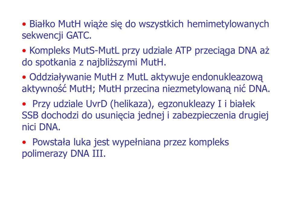 Białko MutH wiąże się do wszystkich hemimetylowanych sekwencji GATC. Kompleks MutS-MutL przy udziale ATP przeciąga DNA aż do spotkania z najbliższymi