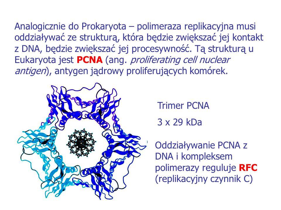 Analogicznie do Prokaryota – polimeraza replikacyjna musi oddziaływać ze strukturą, która będzie zwiększać jej kontakt z DNA, będzie zwiększać jej pro