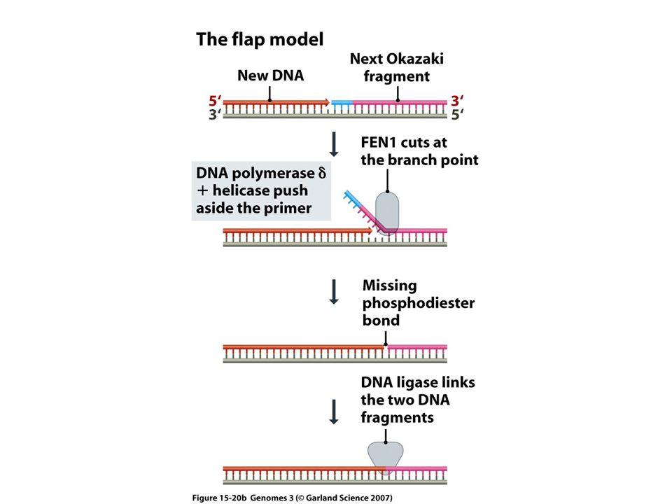 Jak może się skończyć synteza nici opóźnionej w liniowych chromosomach.