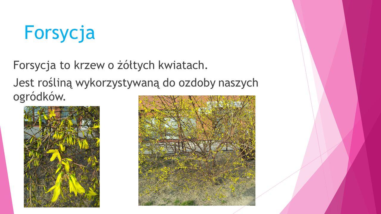 Forsycja Forsycja to krzew o żółtych kwiatach.