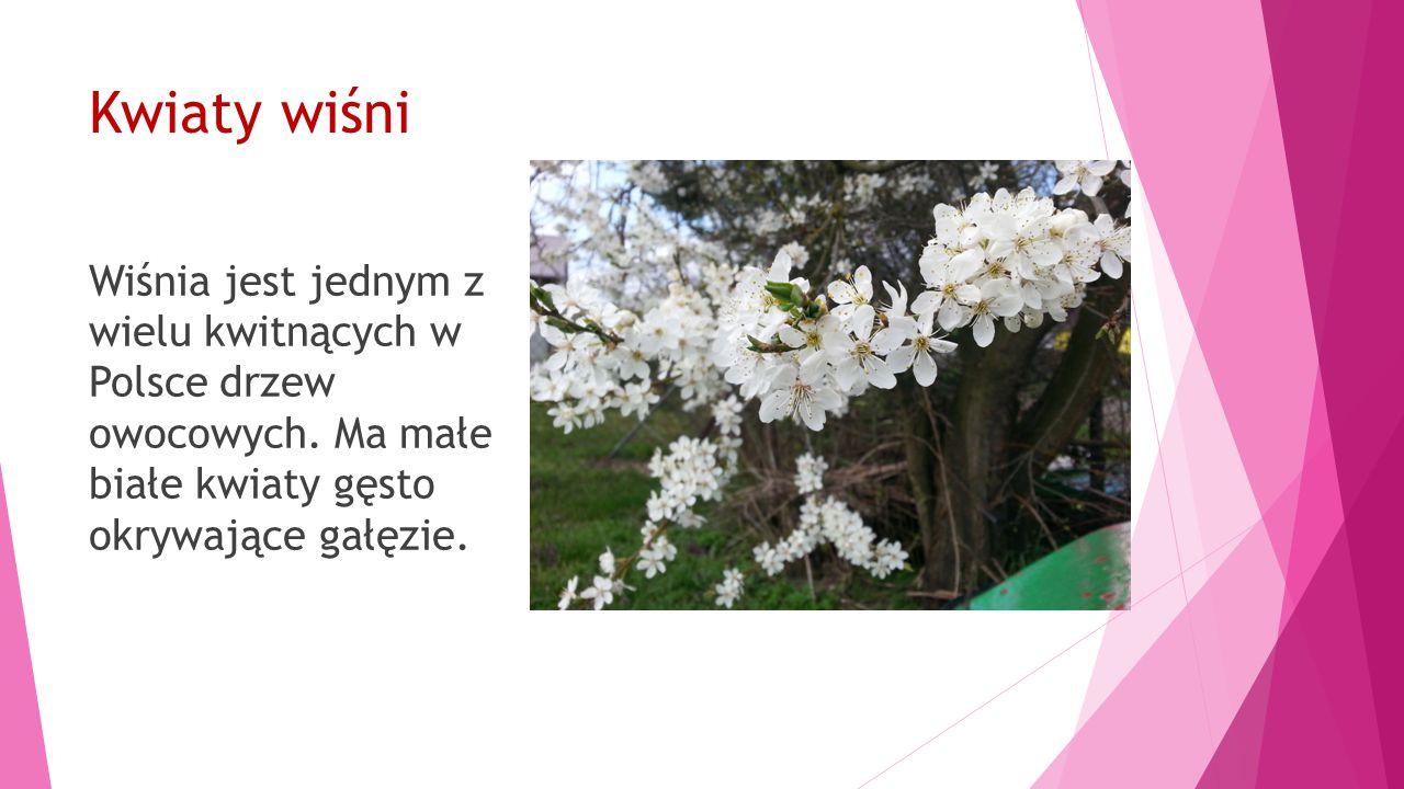 Kwiaty wiśni Wiśnia jest jednym z wielu kwitnących w Polsce drzew owocowych.