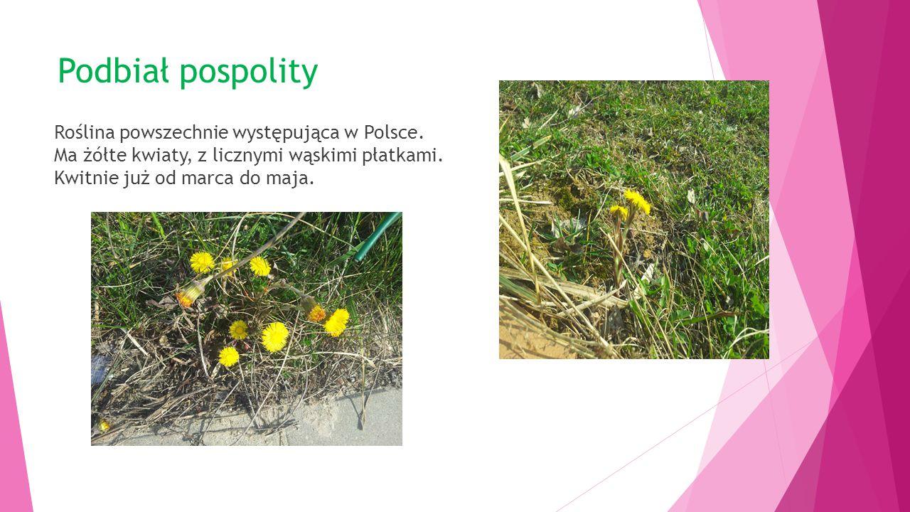 Podbiał pospolity Roślina powszechnie występująca w Polsce.