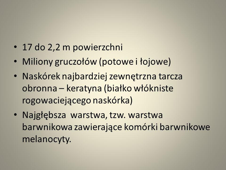 17 do 2,2 m powierzchni Miliony gruczołów (potowe i łojowe) Naskórek najbardziej zewnętrzna tarcza obronna – keratyna (białko włókniste rogowaciejąceg