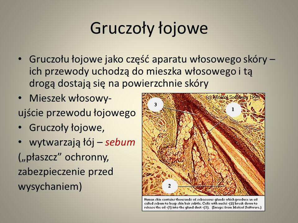 Gruczoły łojowe Gruczołu łojowe jako część aparatu włosowego skóry – ich przewody uchodzą do mieszka włosowego i tą drogą dostają się na powierzchnie