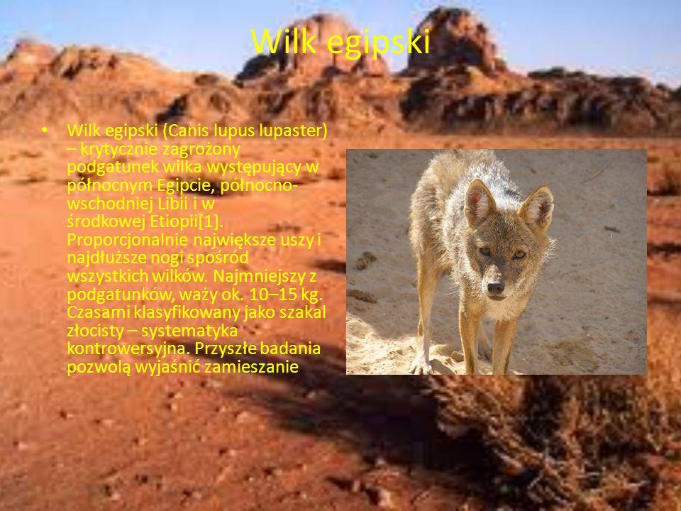 Wilk egipski Wilk egipski (Canis lupus lupaster) – krytycznie zagrożony podgatunek wilka występujący w północnym Egipcie, północno- wschodniej Libii i