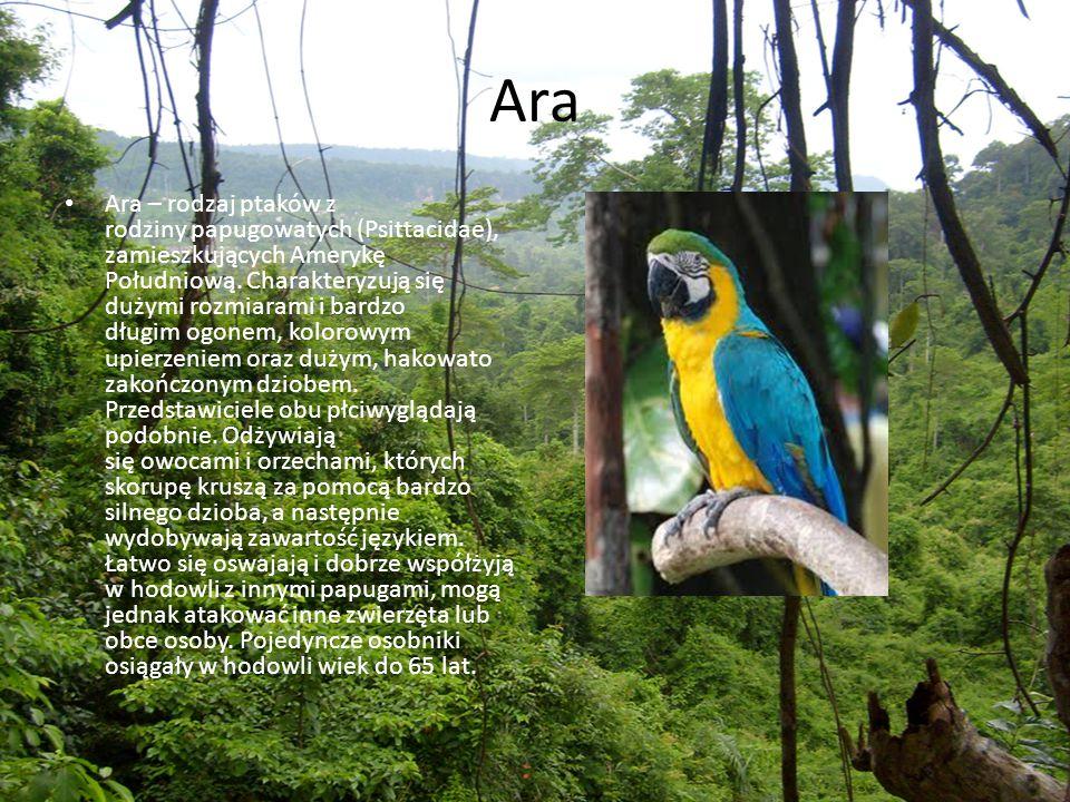 Ara Ara – rodzaj ptaków z rodziny papugowatych (Psittacidae), zamieszkujących Amerykę Południową. Charakteryzują się dużymi rozmiarami i bardzo długim