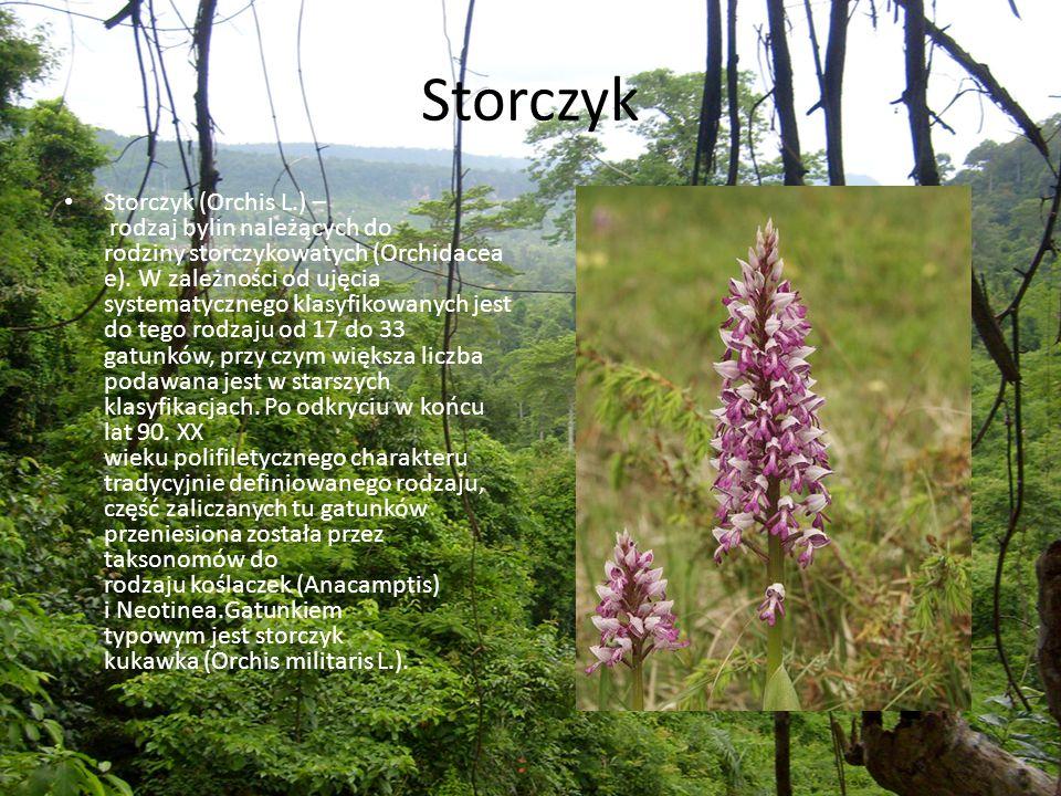 Storczyk Storczyk (Orchis L.) – rodzaj bylin należących do rodziny storczykowatych (Orchidacea e). W zależności od ujęcia systematycznego klasyfikowan