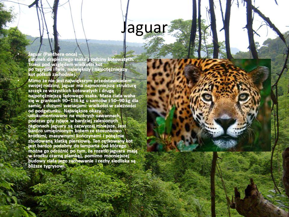 Jaguar Jaguar (Panthera onca) – gatunek drapieżnego ssaka z rodziny kotowatych. Trzeci pod względem wielkości kot po tygrysie i lwie, największy i naj