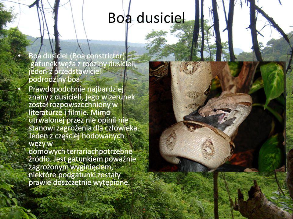 Boa dusiciel Boa dusiciel (Boa constrictor) – gatunek węża z rodziny dusicieli, jeden z przedstawicieli podrodziny boa. Prawdopodobnie najbardziej zna