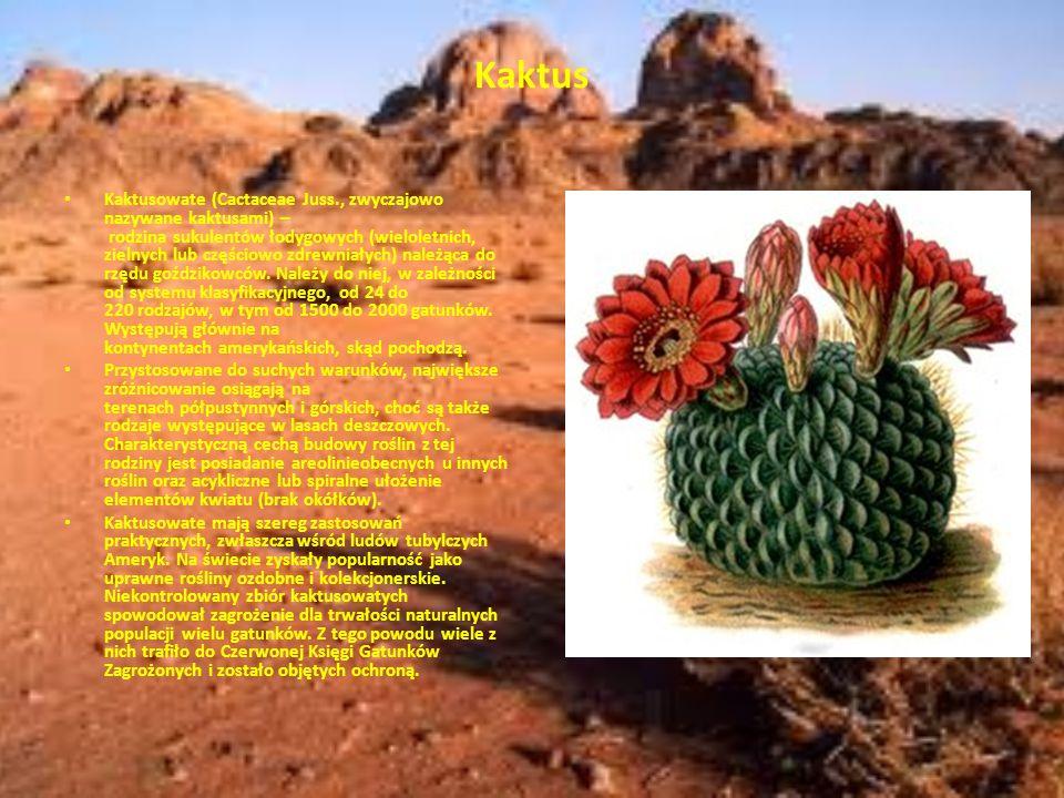 Kaktus Kaktusowate (Cactaceae Juss., zwyczajowo nazywane kaktusami) – rodzina sukulentów łodygowych (wieloletnich, zielnych lub częściowo zdrewniałych