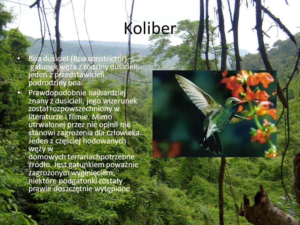 Koliber Boa dusiciel (Boa constrictor) – gatunek węża z rodziny dusicieli, jeden z przedstawicieli podrodziny boa. Prawdopodobnie najbardziej znany z