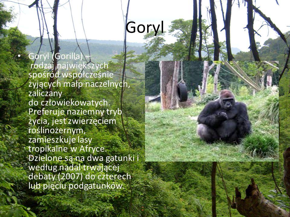 Goryl Goryl (Gorilla) – rodzaj największych spośród współcześnie żyjących małp naczelnych, zaliczany do człowiekowatych. Preferuje naziemny tryb życia