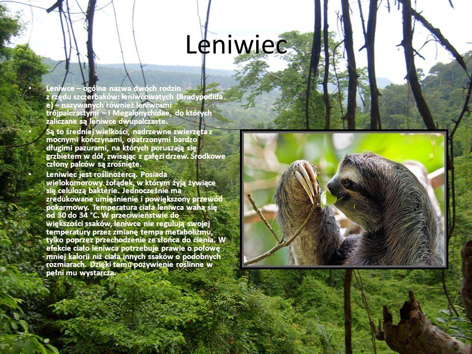 Leniwiec Leniwce – ogólna nazwa dwóch rodzin z rzędu szczerbaków: leniwcowatych (Bradypodida e) – nazywanych również leniwcami trójpalczastymi – i Meg