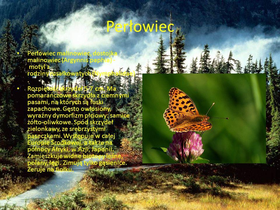 Perłowiec Perłowiec malinowiec, dostojka malinowiec (Argynnis paphia) - motyl z rodziny rusałkowatych (Nymphalidae). Rozpiętość skrzydeł 5-7 cm. Ma po