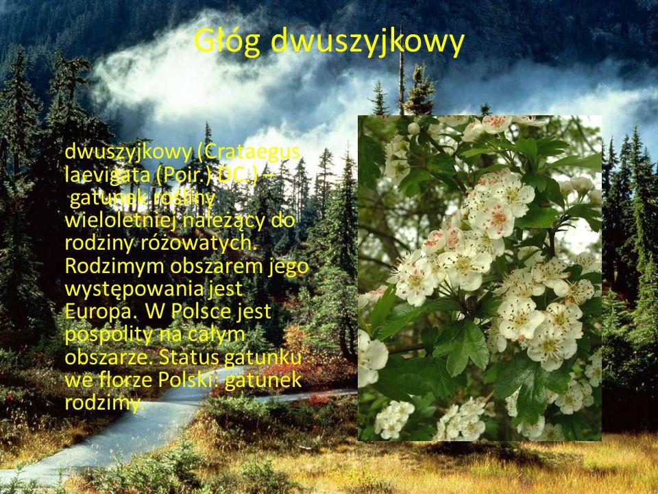 Głóg dwuszyjkowy Głóg dwuszyjkowy (Crataegus laevigata (Poir.) DC.) – gatunek rośliny wieloletniej należący do rodziny różowatych. Rodzimym obszarem j