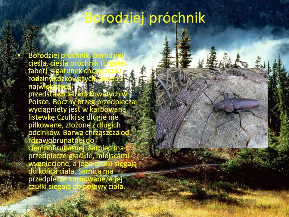 Borodziej próchnik Borodziej próchnik, borodziej cieśla, cieśla próchnik (Ergates faber) – gatunek chrząszcza z rodziny kózkowatych. Jeden z największ