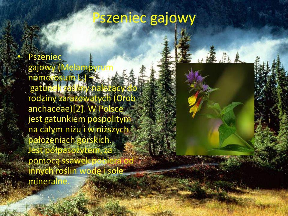Pszeniec gajowy Pszeniec gajowy (Melampyrum nemorosum L.) – gatunek rośliny należący do rodziny zarazowatych (Orob anchaceae)[2]. W Polsce jest gatunk