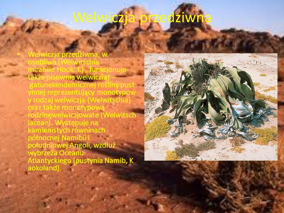 Welwiczja przedziwna Welwiczja przedziwna, w. osobliwa (Welwitschia mirabilis Hook. f.), funkcjonuje także pisownia welwiczia) – gatunekendemicznej ro