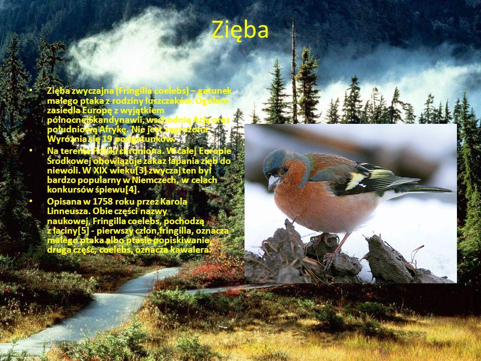 Zięba Zięba zwyczajna (Fringilla coelebs) – gatunek małego ptaka z rodziny łuszczaków. Ogółem zasiedla Europę z wyjątkiem północnejSkandynawii, wschod