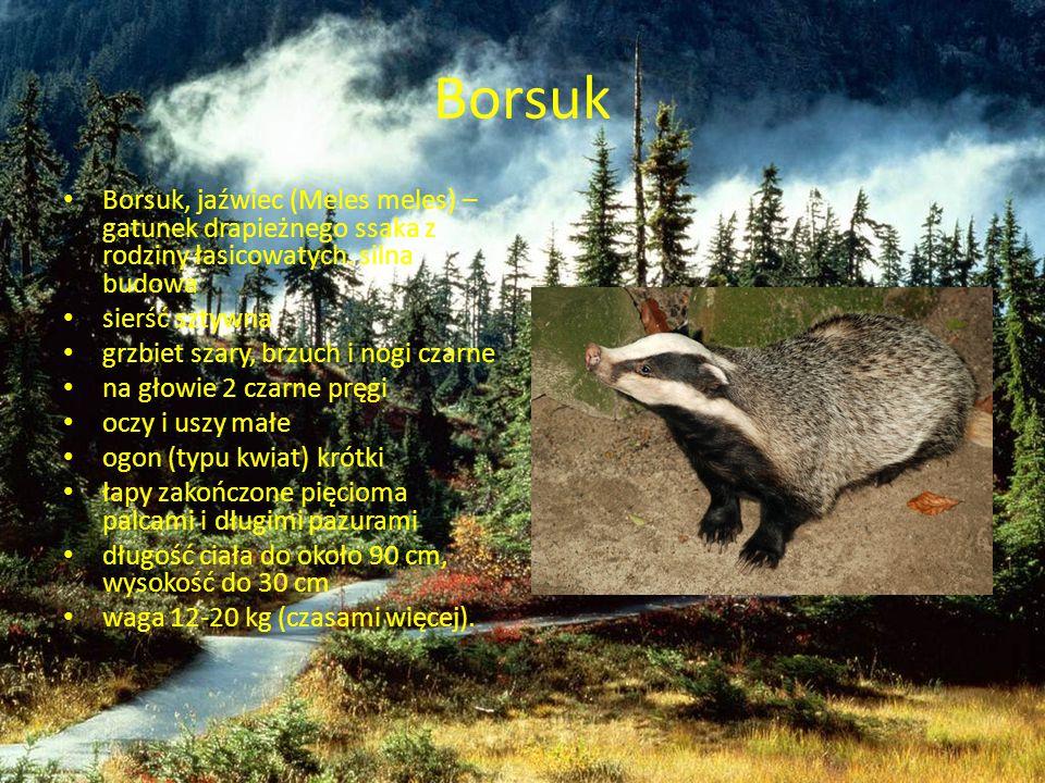 Borsuk Borsuk, jaźwiec (Meles meles) – gatunek drapieżnego ssaka z rodziny łasicowatych. silna budowa sierść sztywna grzbiet szary, brzuch i nogi czar