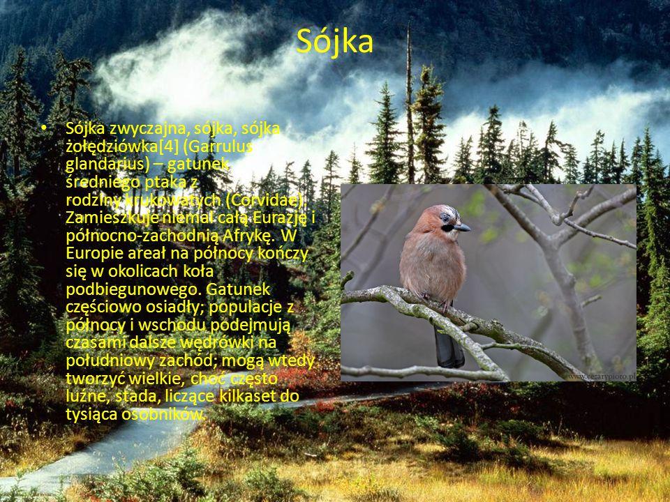 Sójka Sójka zwyczajna, sójka, sójka żołędziówka[4] (Garrulus glandarius) – gatunek średniego ptaka z rodziny krukowatych (Corvidae). Zamieszkuje niema