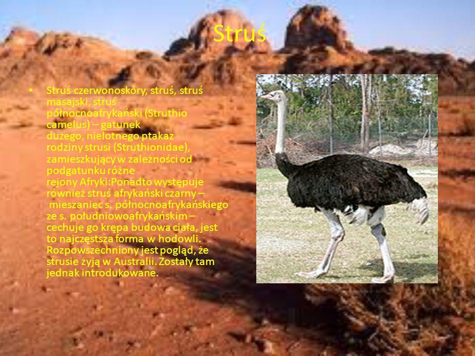 Struś Struś czerwonoskóry, struś, struś masajski, struś północnoafrykański (Struthio camelus) – gatunek dużego, nielotnego ptakaz rodziny strusi (Stru