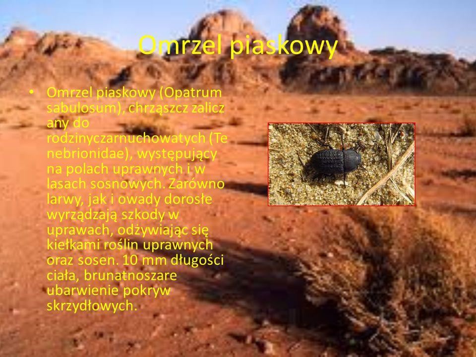 Omrzel piaskowy Omrzel piaskowy (Opatrum sabulosum), chrząszcz zalicz any do rodzinyczarnuchowatych (Te nebrionidae), występujący na polach uprawnych