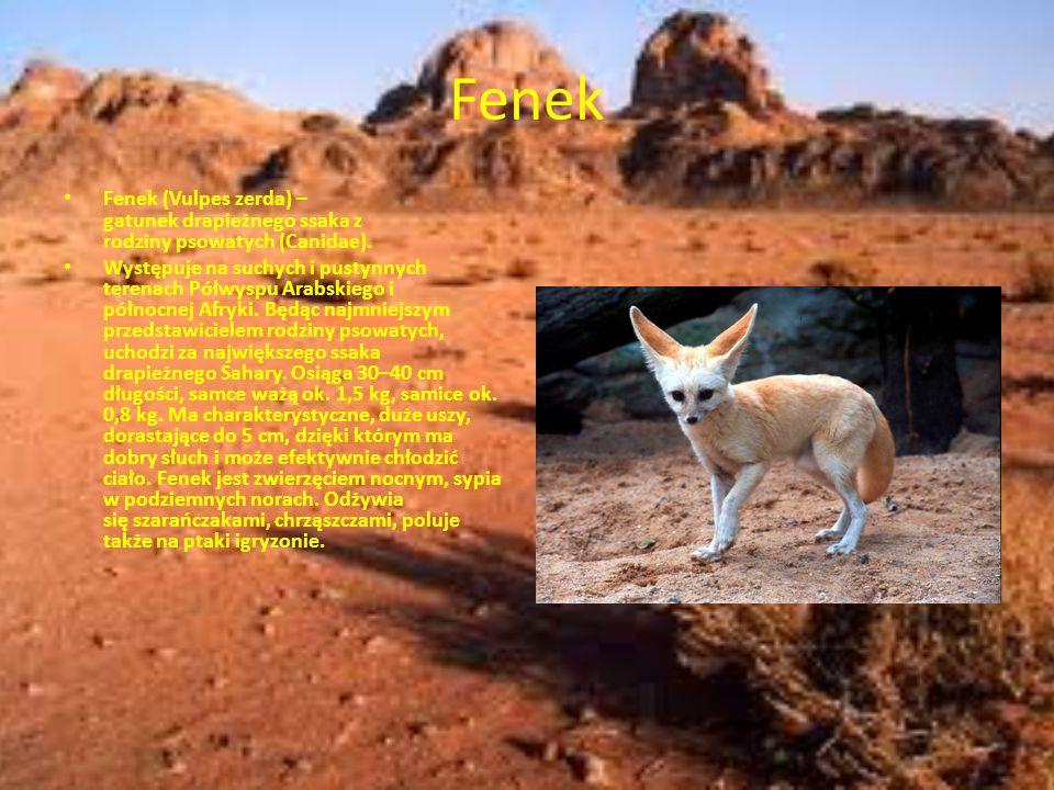 Skoczek egipski Skoczek egipski, także skoczek pustynny (Jaculus jaculus) – gatunek gryzonia z rodziny skoczkowatych (Dipodi dae), najmniejszy z rodzaju Jaculus.