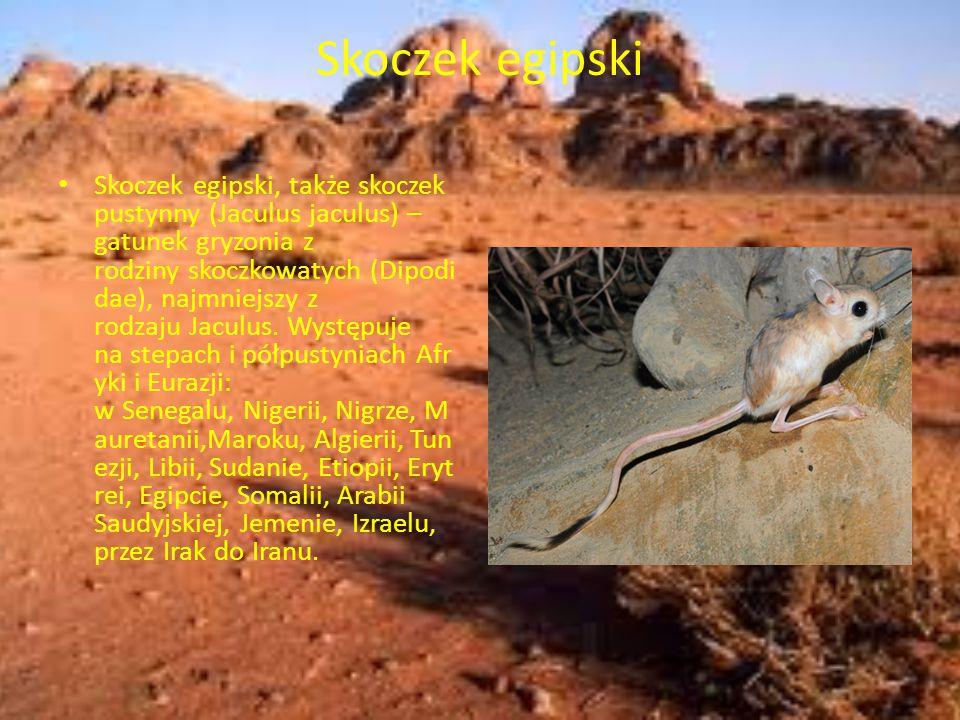 Skoczek egipski Skoczek egipski, także skoczek pustynny (Jaculus jaculus) – gatunek gryzonia z rodziny skoczkowatych (Dipodi dae), najmniejszy z rodza