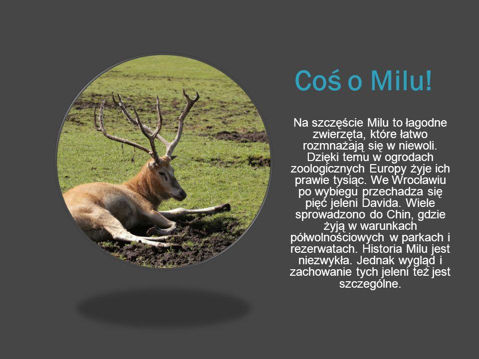 Coś o Milu! Na szczęście Milu to łagodne zwierzęta, które łatwo rozmnażają się w niewoli. Dzięki temu w ogrodach zoologicznych Europy żyje ich prawie
