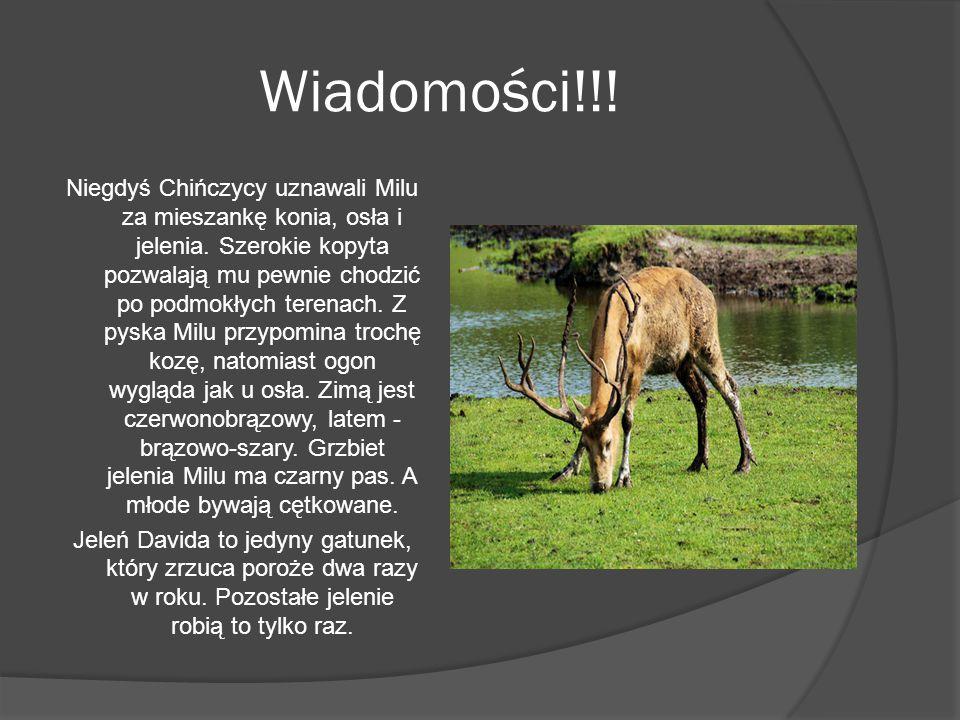 Wiadomości!!! Niegdyś Chińczycy uznawali Milu za mieszankę konia, osła i jelenia. Szerokie kopyta pozwalają mu pewnie chodzić po podmokłych terenach.