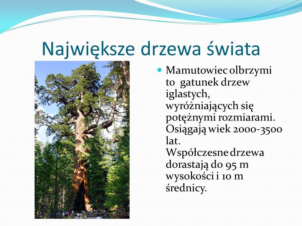 Największe drzewa świata Mamutowiec olbrzymi to gatunek drzew iglastych, wyróżniających się potężnymi rozmiarami.