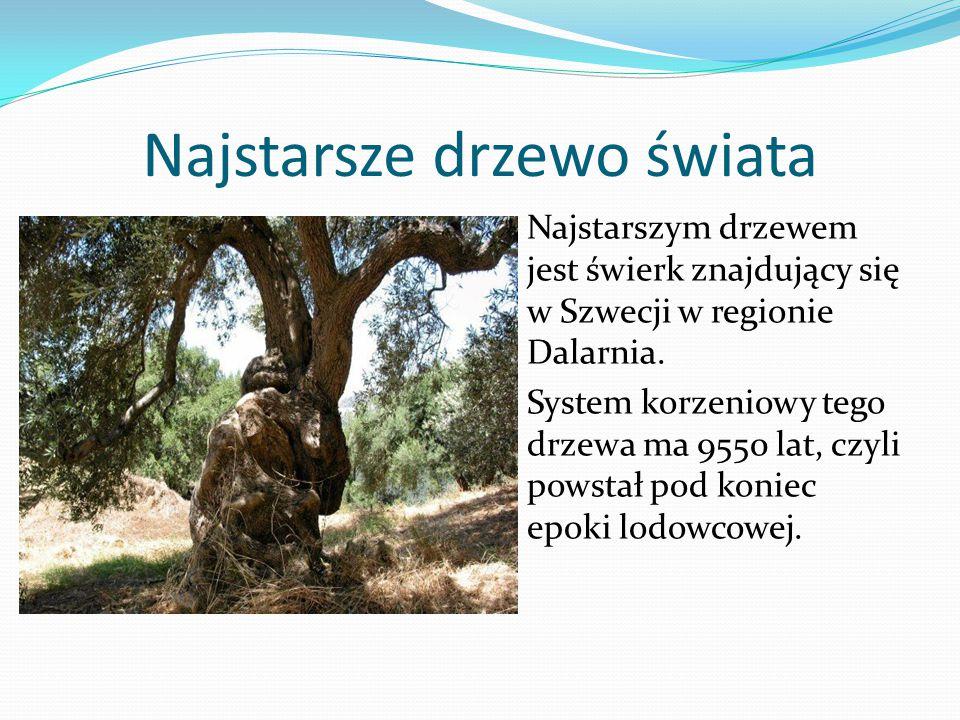 Najstarsze drzewo świata Najstarszym drzewem jest świerk znajdujący się w Szwecji w regionie Dalarnia.