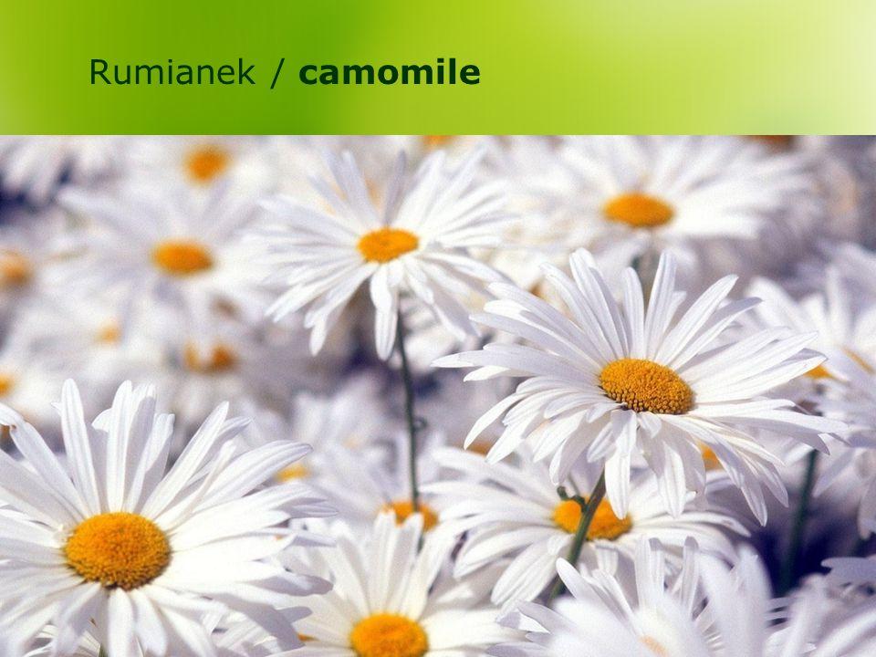 Rumianek / camomile