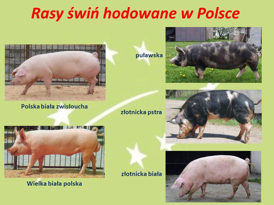 Rasy świń hodowane w Polsce Polska biała zwisłoucha Wielka biała polska puławska złotnicka pstra złotnicka biała 24