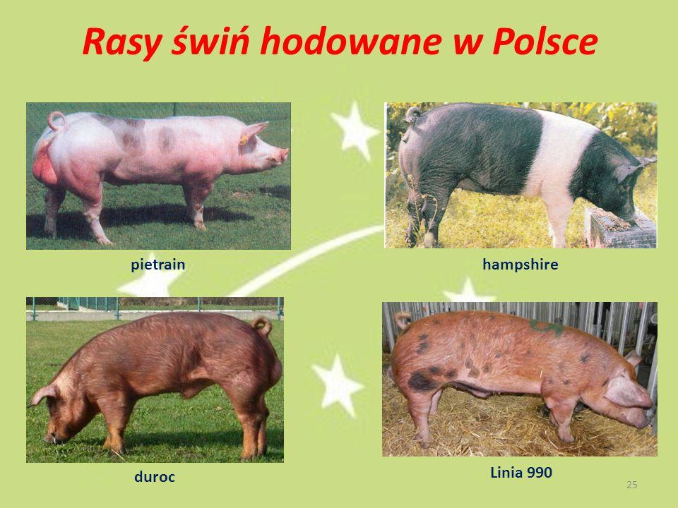 Rasy świń hodowane w Polsce pietrain duroc hampshire Linia 990 25