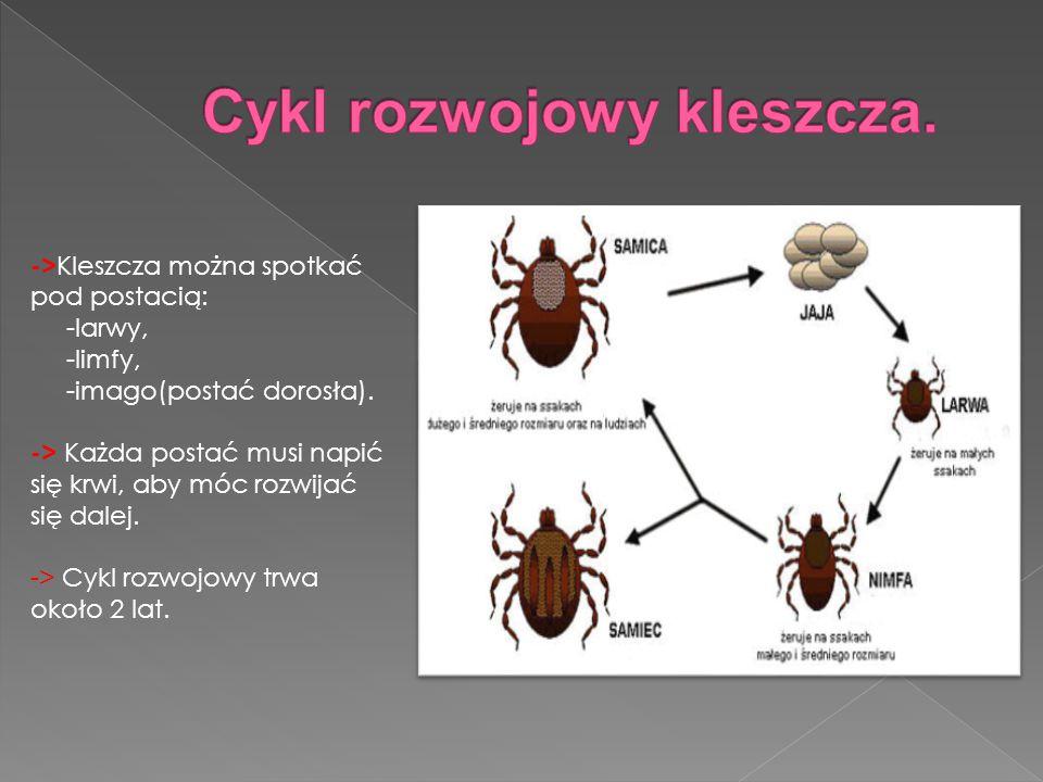-> Kleszcza można spotkać pod postacią: -larwy, -limfy, -imago(postać dorosła).