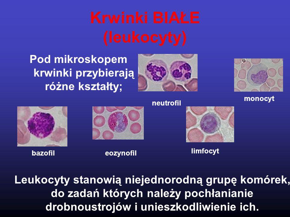 Krwinki BIAŁE (leukocyty) Pod mikroskopem krwinki przybierają różne kształty; monocyt limfocyt bazofileozynofil neutrofil Leukocyty stanowią niejednor