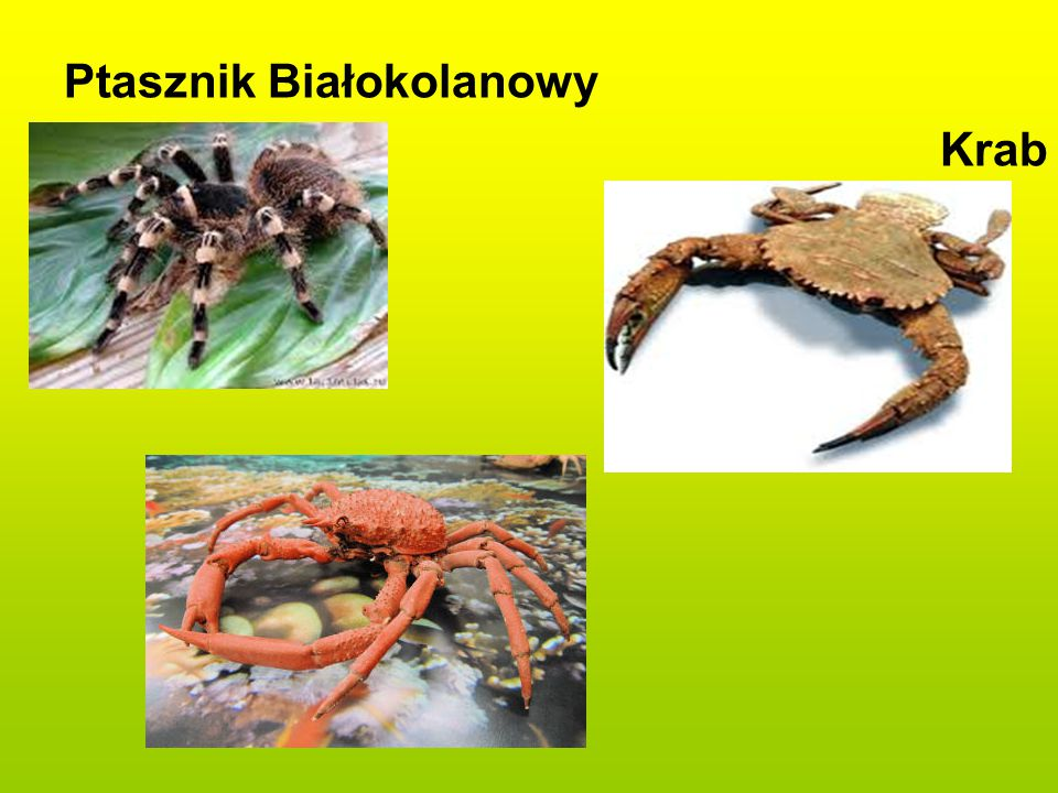 Ptasznik Białokolanowy Krab