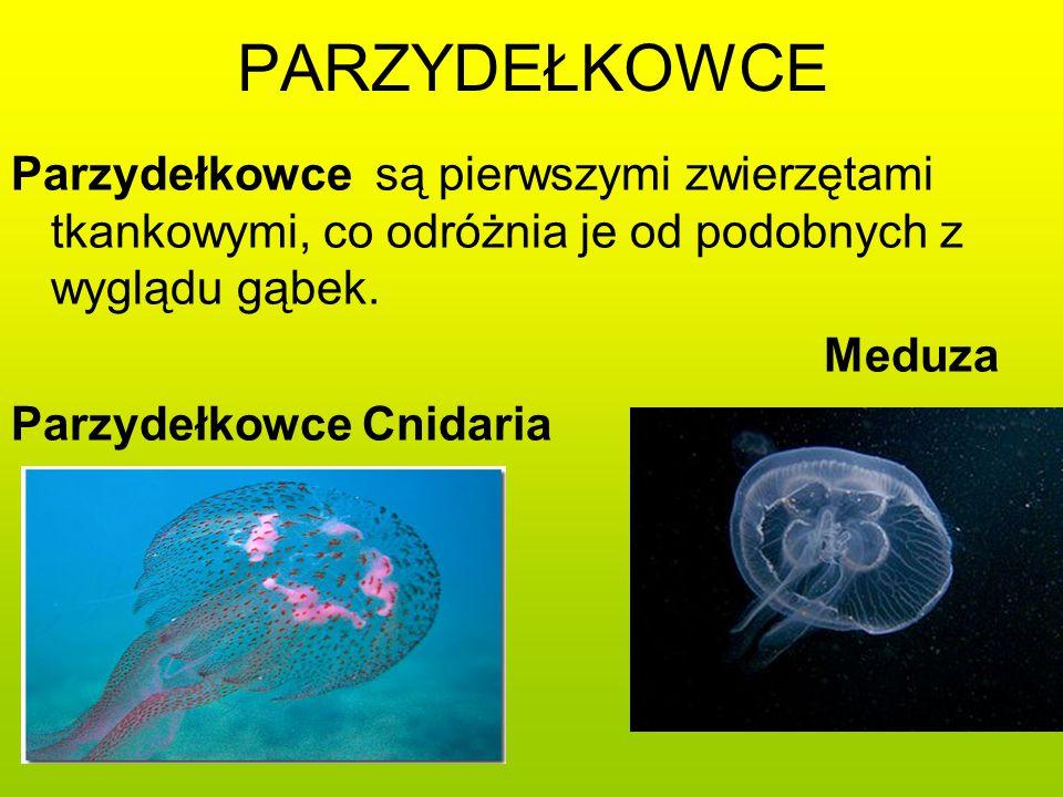 PARZYDEŁKOWCE Parzydełkowce są pierwszymi zwierzętami tkankowymi, co odróżnia je od podobnych z wyglądu gąbek. Meduza Parzydełkowce Cnidaria