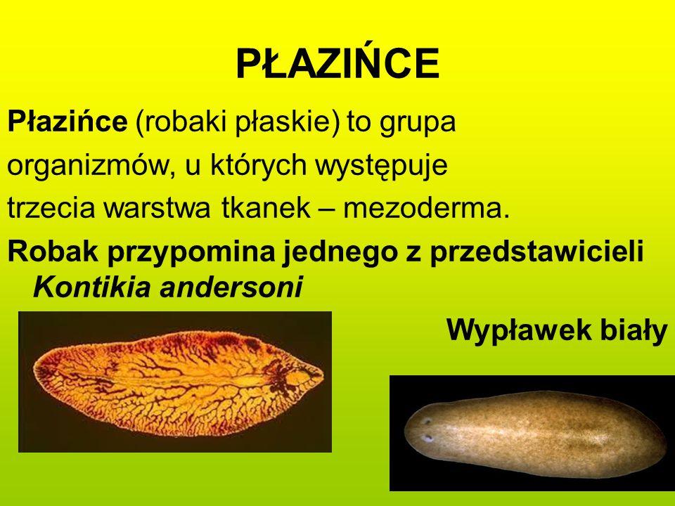 PŁAZIŃCE Płazińce (robaki płaskie) to grupa organizmów, u których występuje trzecia warstwa tkanek – mezoderma. Robak przypomina jednego z przedstawic
