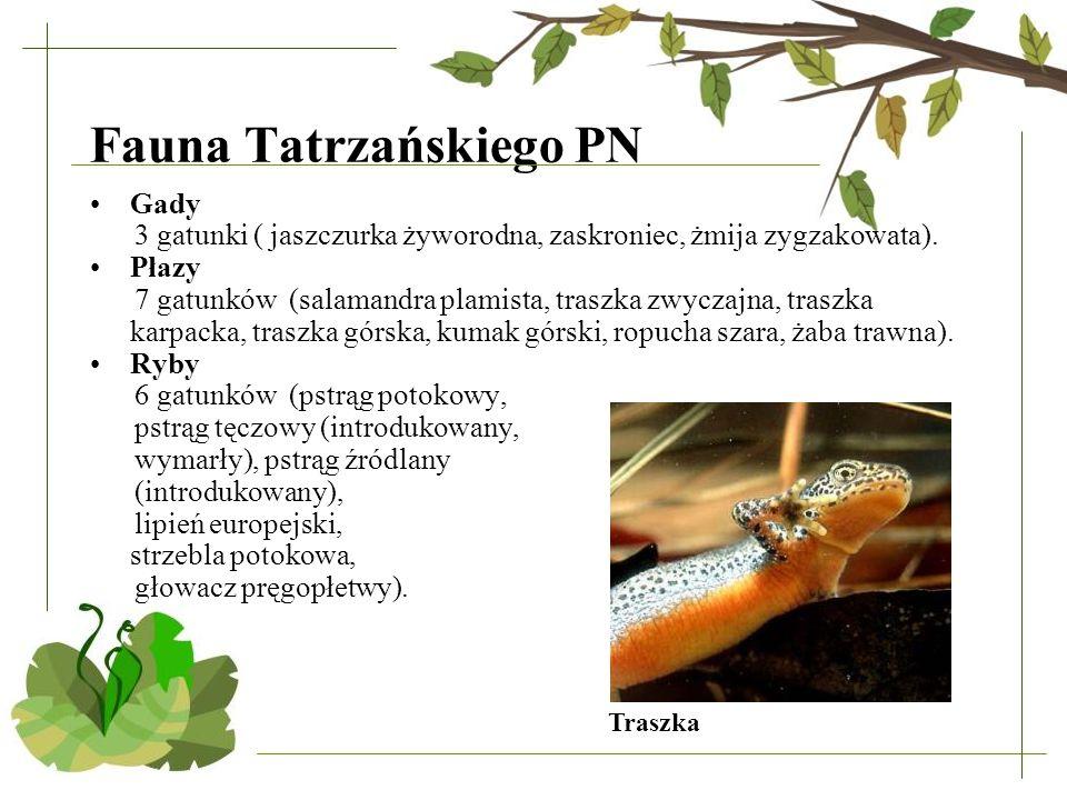Fauna Tatrzańskiego PN Gady 3 gatunki ( jaszczurka żyworodna, zaskroniec, żmija zygzakowata). Płazy 7 gatunków (salamandra plamista, traszka zwyczajna
