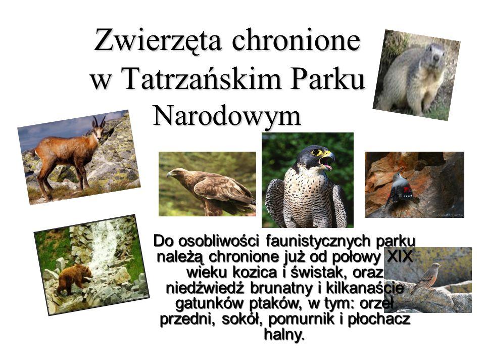 Zwierzęta chronione w Tatrzańskim Parku Narodowym Do osobliwości faunistycznych parku należą chronione już od połowy XIX wieku kozica i świstak, oraz