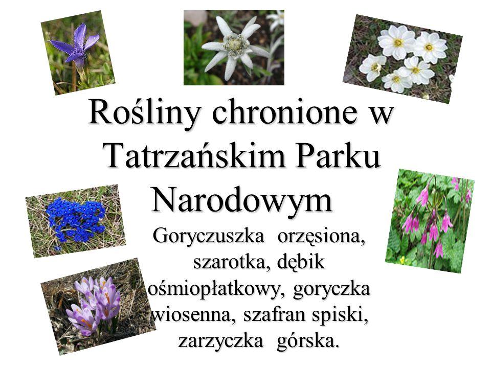 Rośliny chronione w Tatrzańskim Parku Narodowym Goryczuszka orzęsiona, szarotka, dębik ośmiopłatkowy, goryczka wiosenna, szafran spiski, zarzyczka gór