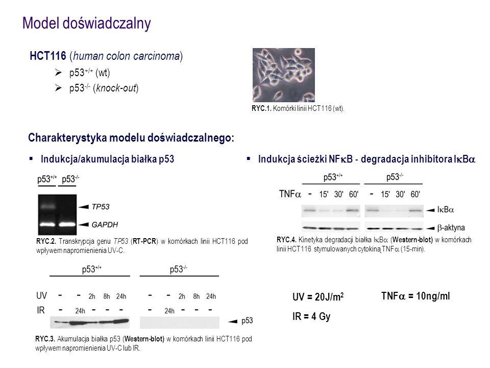 HCT116 ( human colon carcinoma )  p53 +/+ (wt)  p53 -/- ( knock-out ) Model doświadczalny RYC.1. Komórki linii HCT116 (wt). TNF  = 10ng/ml RYC.4.