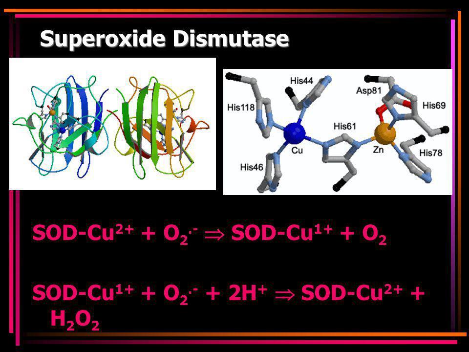 Superoxide Dismutase SOD-Cu 2+ + O 2.-  SOD-Cu 1+ + O 2 SOD-Cu 1+ + O 2.- + 2H +  SOD-Cu 2+ + H 2 O 2