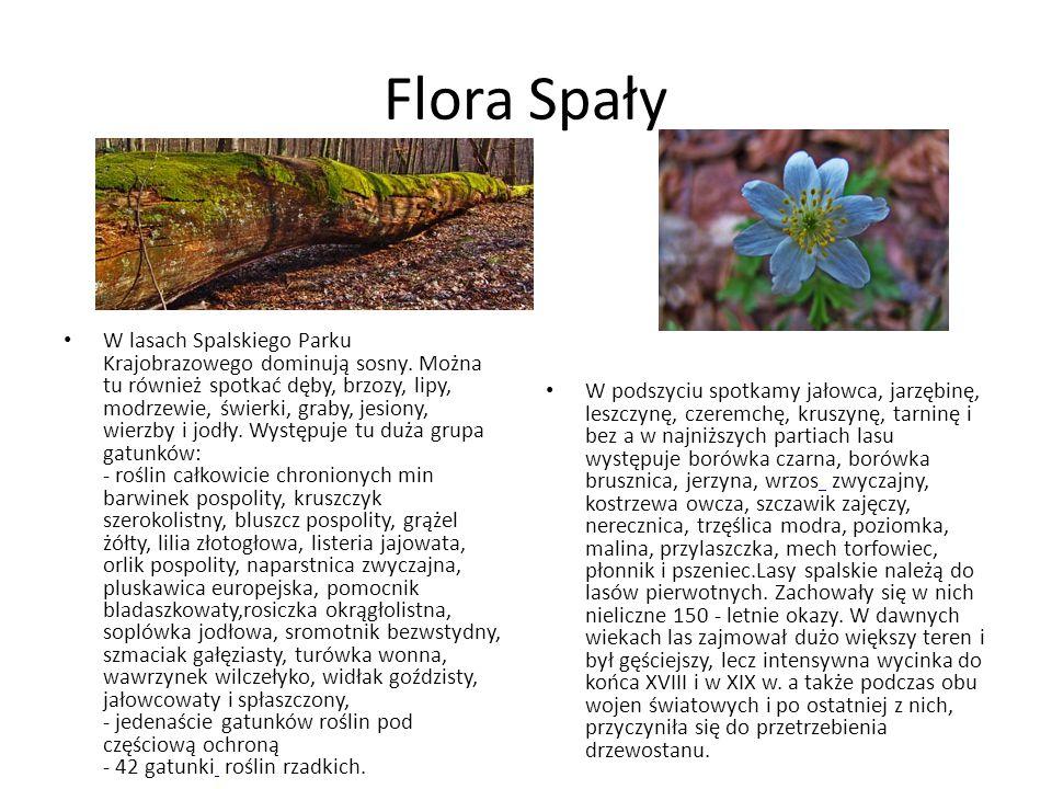 Flora Spały W lasach Spalskiego Parku Krajobrazowego dominują sosny. Można tu również spotkać dęby, brzozy, lipy, modrzewie, świerki, graby, jesiony,