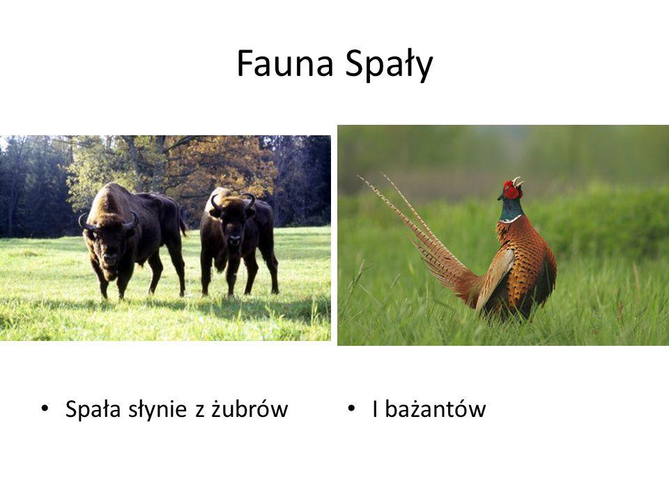 Fauna Spały Spała słynie z żubrów I bażantów